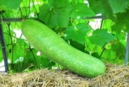 Bottle Gourd Health Benefits ( Lauki / Ghiya Benefits)